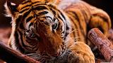 Tiger-rest-animals
