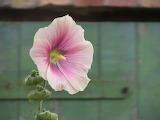 Stockrose garden rose