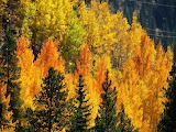 Autumn Colors of Aspen In Vail Colorado USA