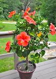 Hibiscus Plant Red Orange Blooms flowers