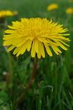 A Dandelion in the Grass