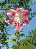 Lilium speziosum Rubrum