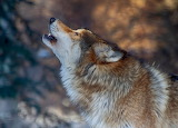 Dogs - howling wolf