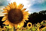Flowers - Sunflower