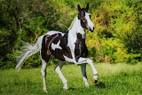 beautiful black and white horse