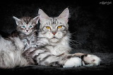 Maine Coon Cat & Kitten