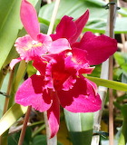 rote Orchideen