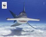 Hammerhai - never trust a smiling shark