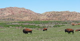 Bison on the Way To Williams