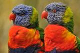 Focused Parrots