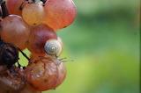 Escargot sur Raisin /a snail on the grape
