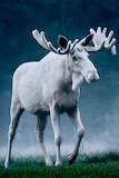WM White Moose Buck
