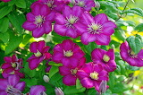 Flowers, nature, beauty, plants, flowering, flora, clematis,pere