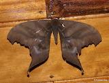 "Insects ""Saturniid Moth"" ""Paradaemonia platydesmia, Saturniidae"""