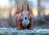 Squirrel, animal, hairy, cute