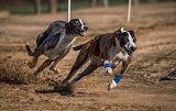 greyhounds-racing