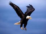 aigle pygargue à tête blanche