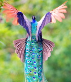 Flying Indian Peacock