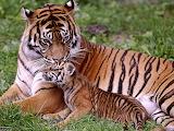Tigre-con-cachorro