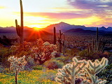 Arizona Sunrise Cactus