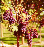New Zealand - Winery - Ripe Grapes1