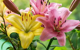 Pink and yellow lily