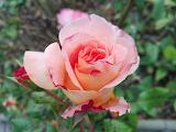 Rose rotweiss