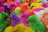 ColorfulChicks