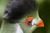 White cheeked touraco bird
