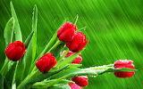 rain falling on red tulips