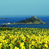 Daffodil Fields Above Mounts Bay