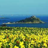 Daffodil Fields Above Mounts Bay