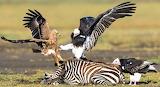 Raptor vs  Vulture