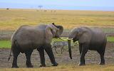 Sparring Elephants