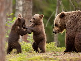 Bear cubs playing with mama watching