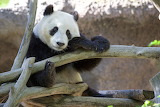 Panda, branches, tree, animal, bear