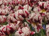 red zebra tulips