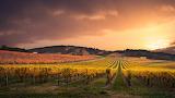 Vineyards, Adelaide