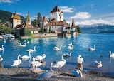swans at lake
