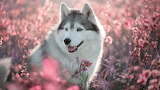 Husky-dog-spring