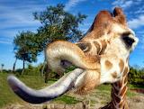GiraffeTongue