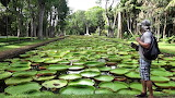 Giant water lilies botanical garden Mauritius
