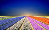 ☺♥ Tulip fields...