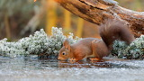 Thirsty squirrel in the frost