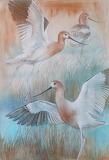 American-avocets
