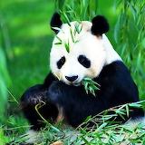 *PANDA...