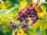 🍇Grapes are a gift from God...