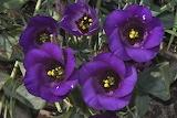 Eustoma Closeup Violet 514891 1280x853