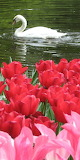 swimming among the tulips