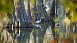 White egret in the Cypress Island Swamp, Louisiana